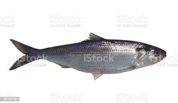 Fisch Stockfoto und mehr Bilder von Fisch