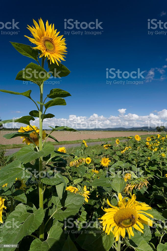 Large single sunflower against blue sky (XXL) royalty-free stock photo