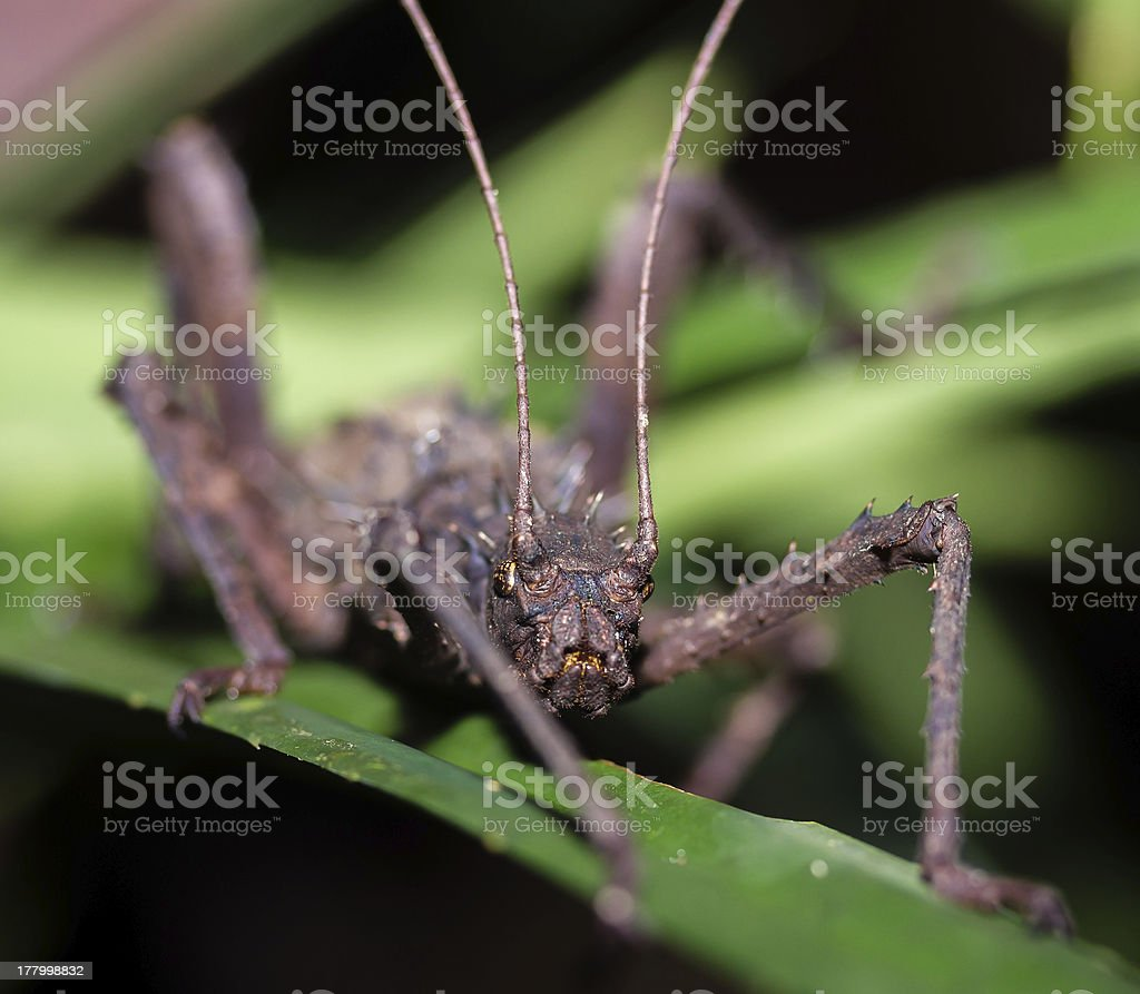 Large sinister looking stick insect in the jungle at night royalty-free stock photo