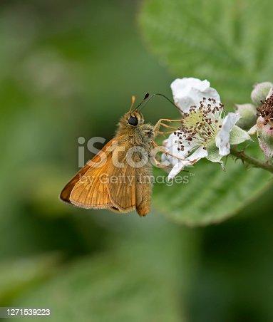 Large Skipper nectaring on Blackthorn bush flower