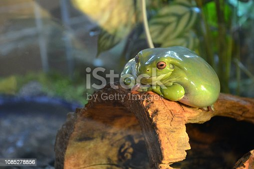 istock A large smooth green frog with orange eyes lies on a branch in a terrarium. Plump frog is watching and smiling. 1085278856
