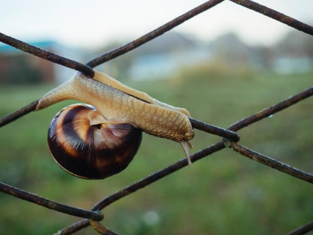 a large snail crawls on a rusty metal fence - ślimak gastropoda zdjęcia i obrazy z banku zdjęć