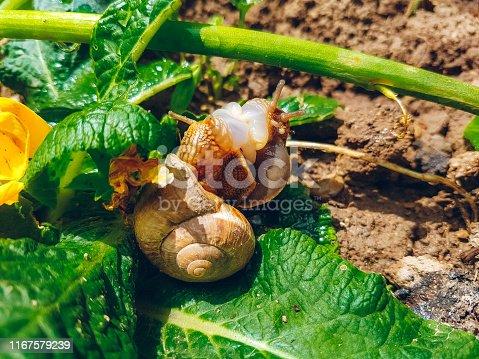 Large snails crawl on a leaf.