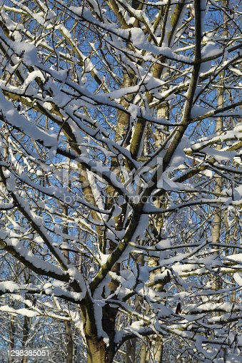 istock Large Snow Covered Tree 1298385051