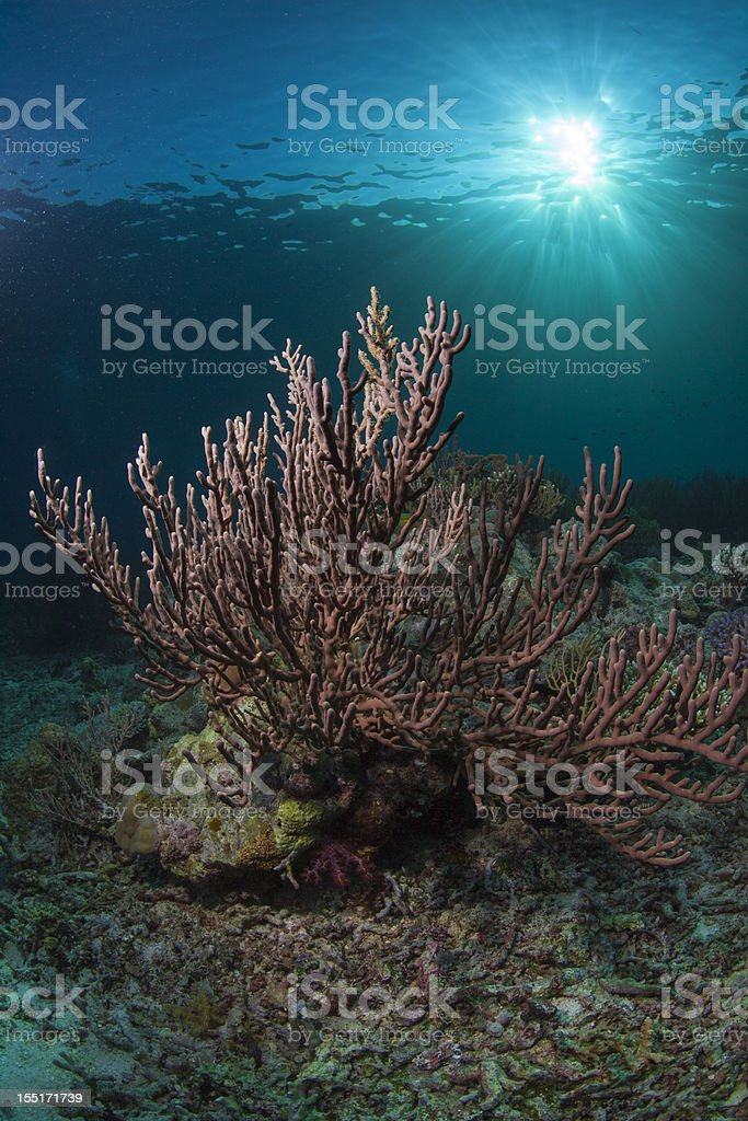 large soft coral and a sunburts royalty-free stock photo