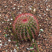 Large spherical spiny cactus