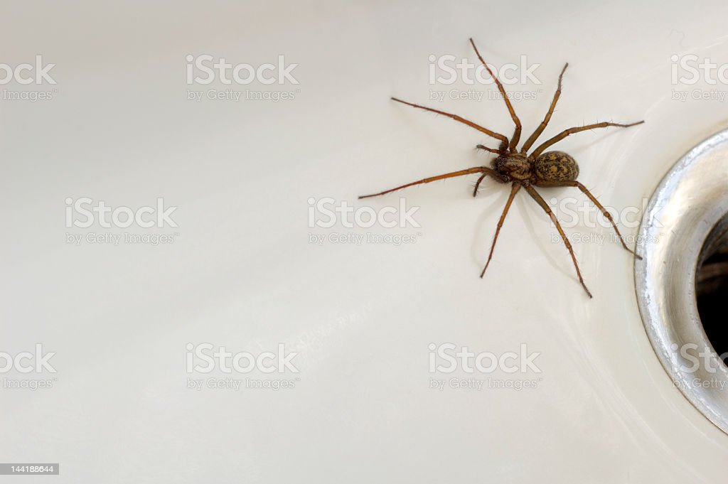 Large spider coming from the drain close-up stock photo