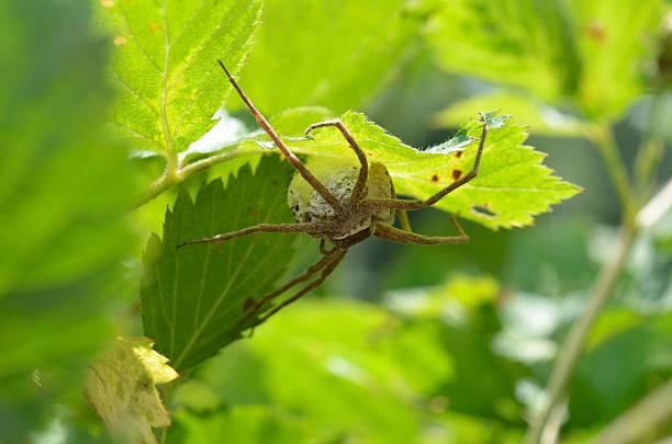 große spinne sitzen auf ei-sac - wilde hilde stock-fotos und bilder