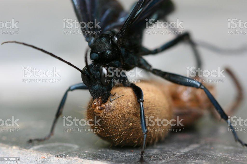Große Spinne Durch Große Schwarze Wespe Gestochen Wurde Und Der