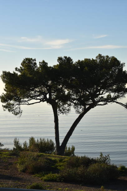 large split trunk tree on a hillside overlooking the ocean - steven harrie stock pictures, royalty-free photos & images