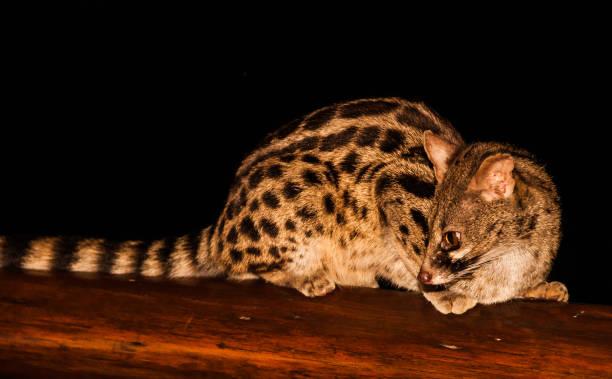 Large spotted Genet or Cape Genet (Genetta tigrina) stock photo