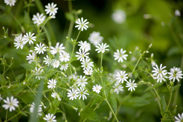Large star-miere (stellaria holostea) addersmeat,greater stitchword stock photo