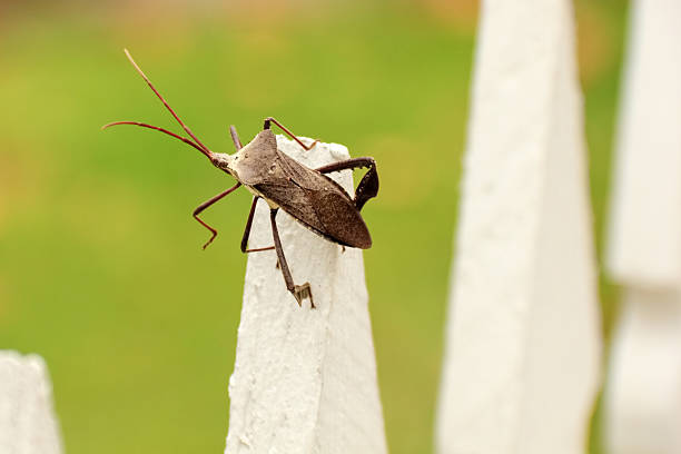 Large Stink Bug on a Fence in Houston, Texas stock photo