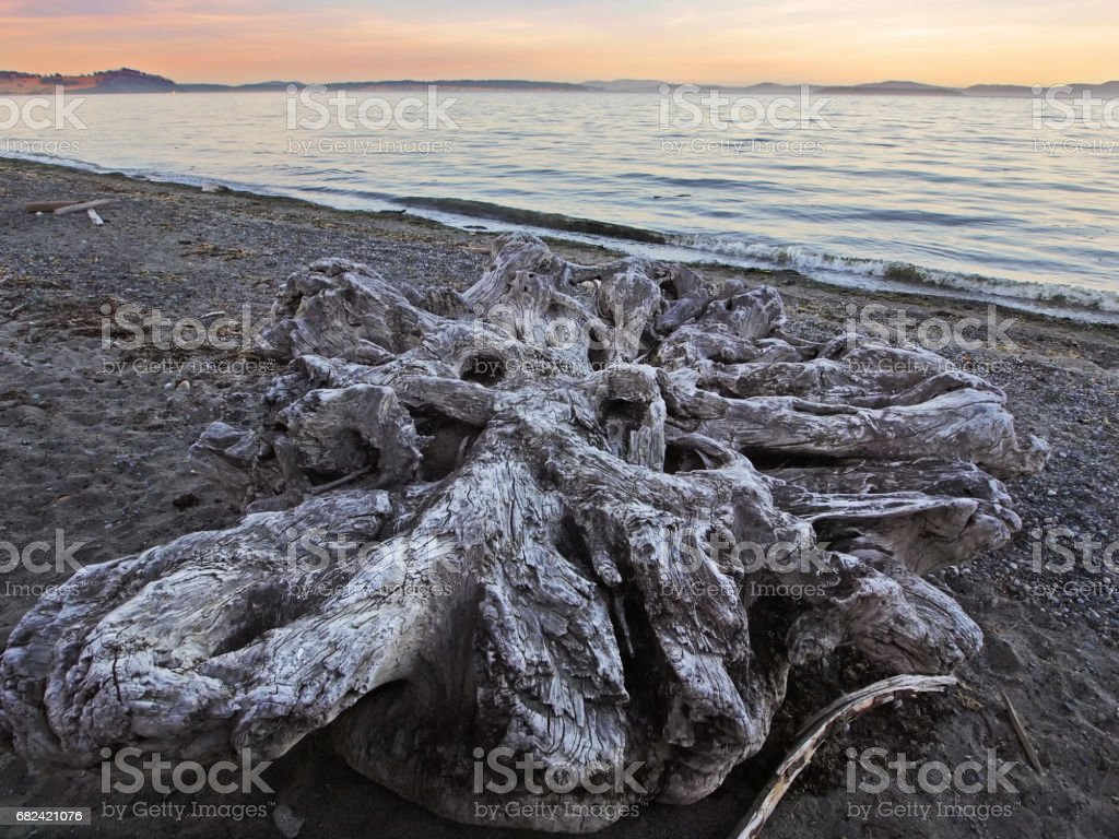 Large stump among the driftwood scattered on the ocean beach royalty-free stock photo