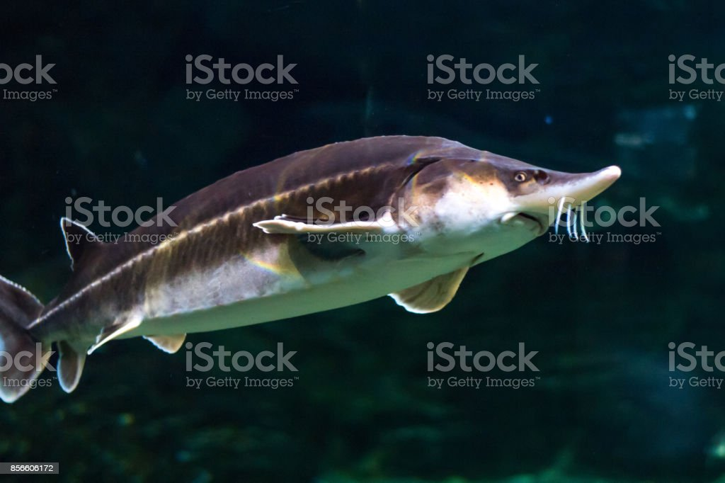 A large sturgeon floats under water and looks into the chamber stock photo