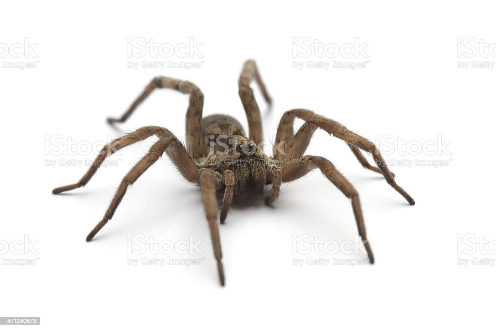 Large tarantula on white surface stock photo