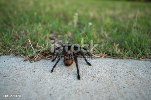 Large Tarantula Walking From Sidewalk to Greeg Grass During the Day time