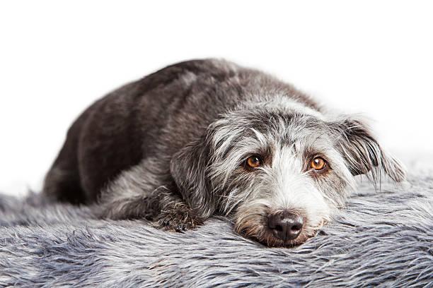 Large terrier crossbreed dog laying on fur rug picture id489207066?b=1&k=6&m=489207066&s=612x612&w=0&h=soao 8nhc02cp pu0t9bbrzis3nzdhpclnhz0b7r2pq=