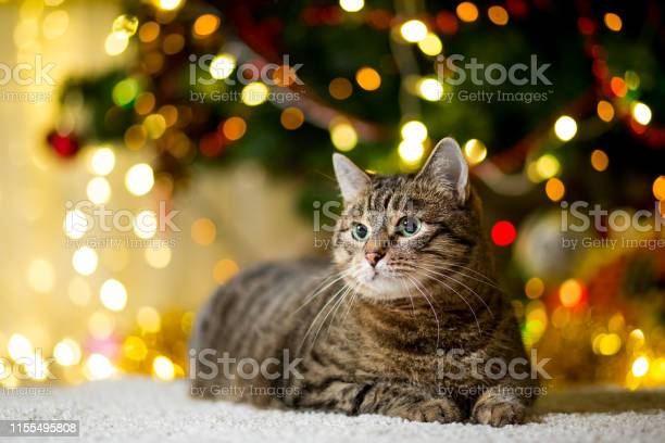 Large thick cat without breed of reed color near the christmas tree picture id1155495808?b=1&k=6&m=1155495808&s=612x612&h=2zpwpjmoujrj1hglbc9g7lmazmacx eokhabk1v1ivg=