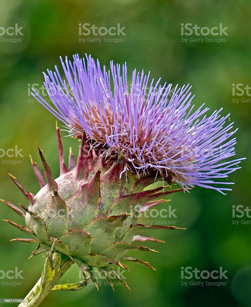 Large Thistle with spiky head and blurred background stock photo