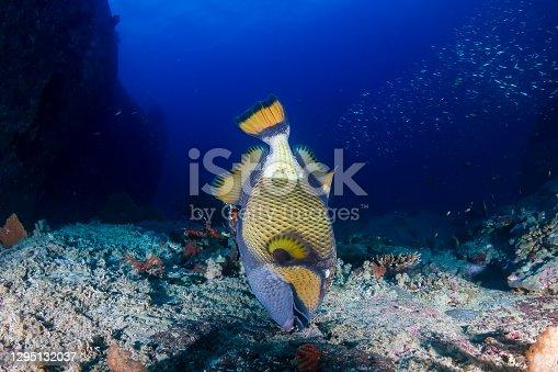 Large Titan Triggerfish feeding on a dark, tropical coral reef at dawn (Similan Islands)