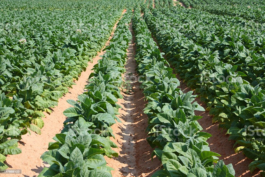 A large tobacco field with rows of tobacco plants stock photo