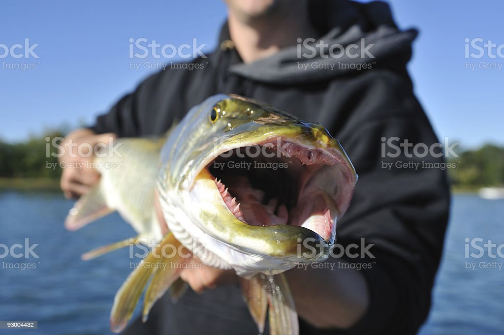 Large Toothy Fish wiht Mouth Open stock photo