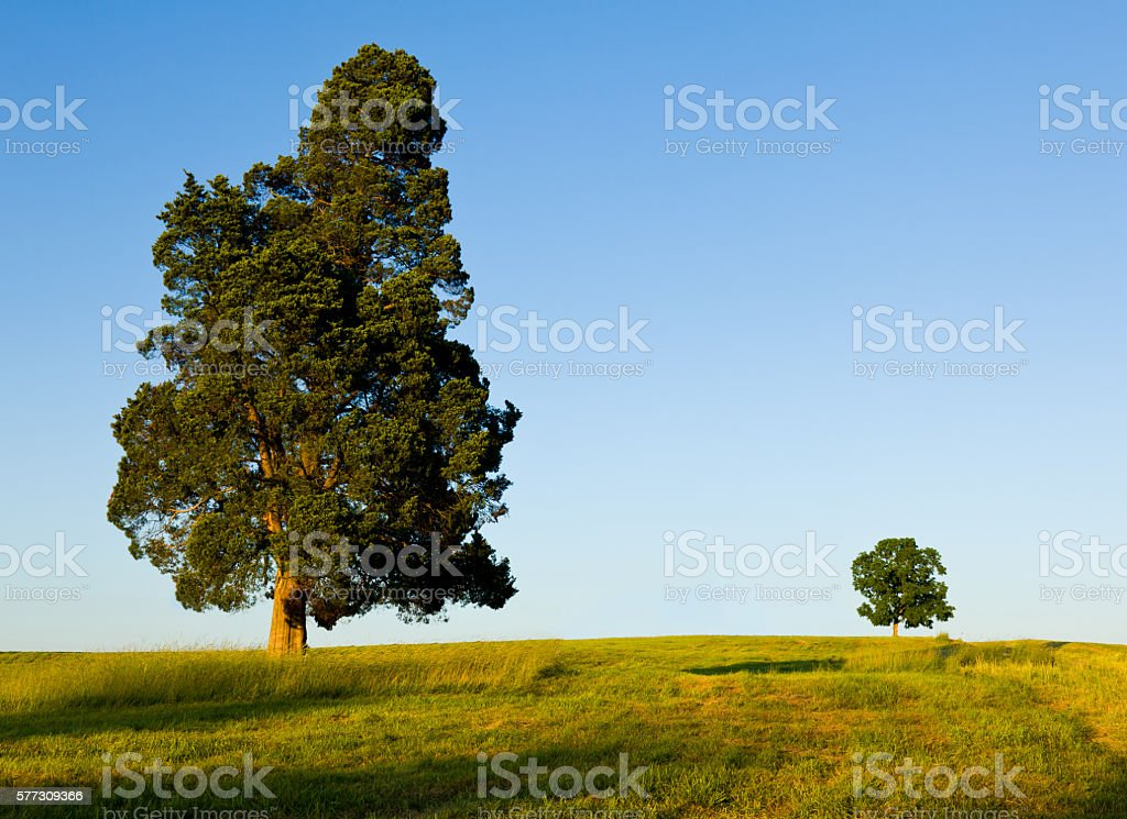 Large tree dominates small tree on hillside stock photo