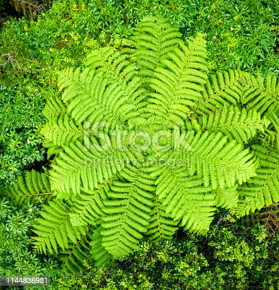 A view from directly above of a large tree fern in native New Zealand forest.