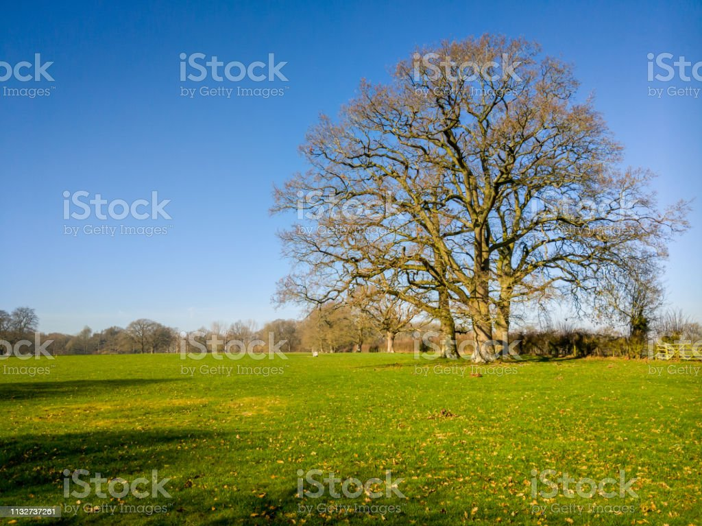 Large tree in a field at spring time on a sunny day stock photo