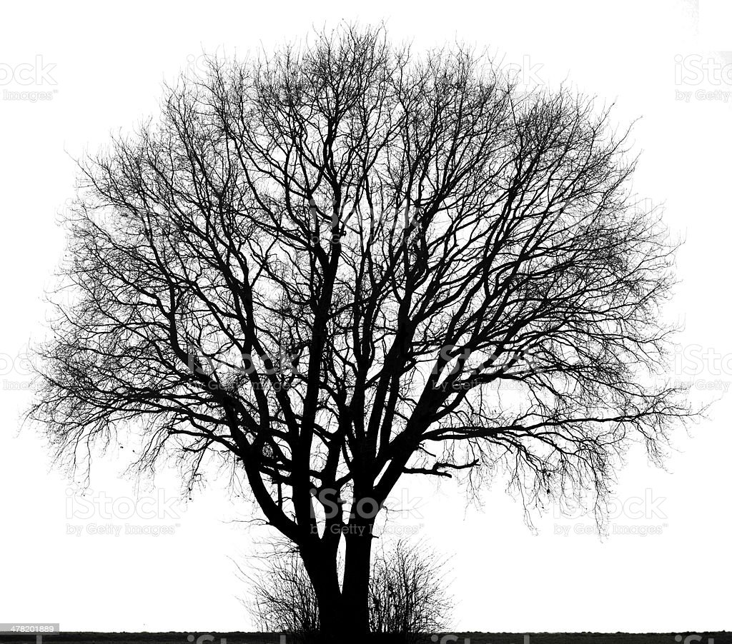 Large tree in black and white isolated. royalty-free stock photo