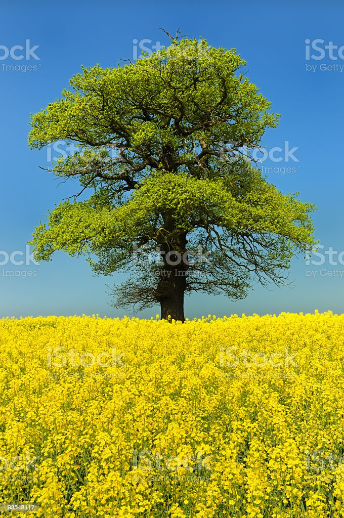 Large Tree in Oilseed Rape Field (XL) royalty-free stock photo