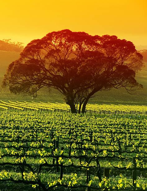 Large Tree in Vineyard stock photo
