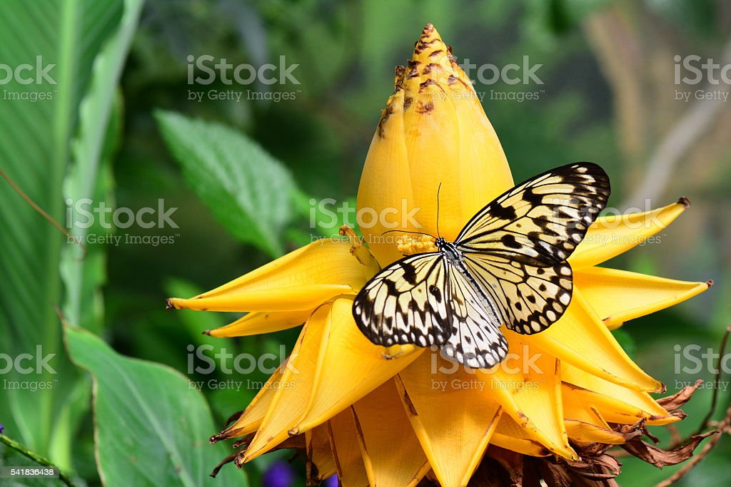 Large tree nymph butterfly stock photo