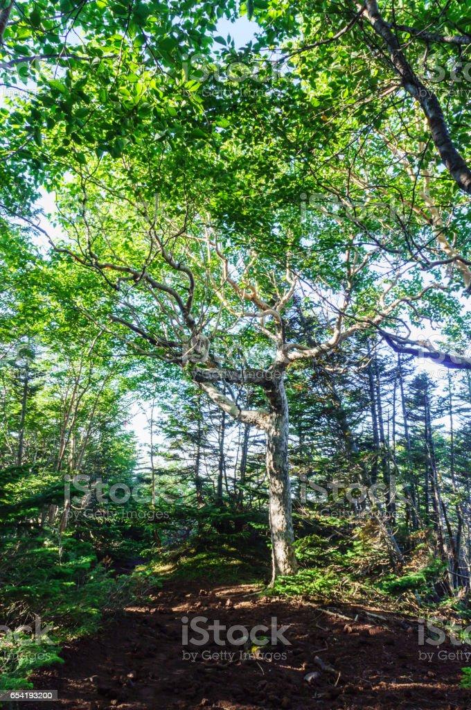 Large Tree on Mountain Trail stock photo