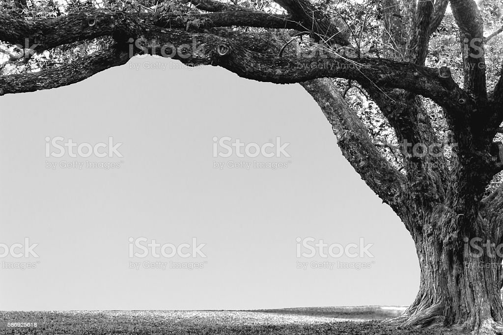 large tree stock photo