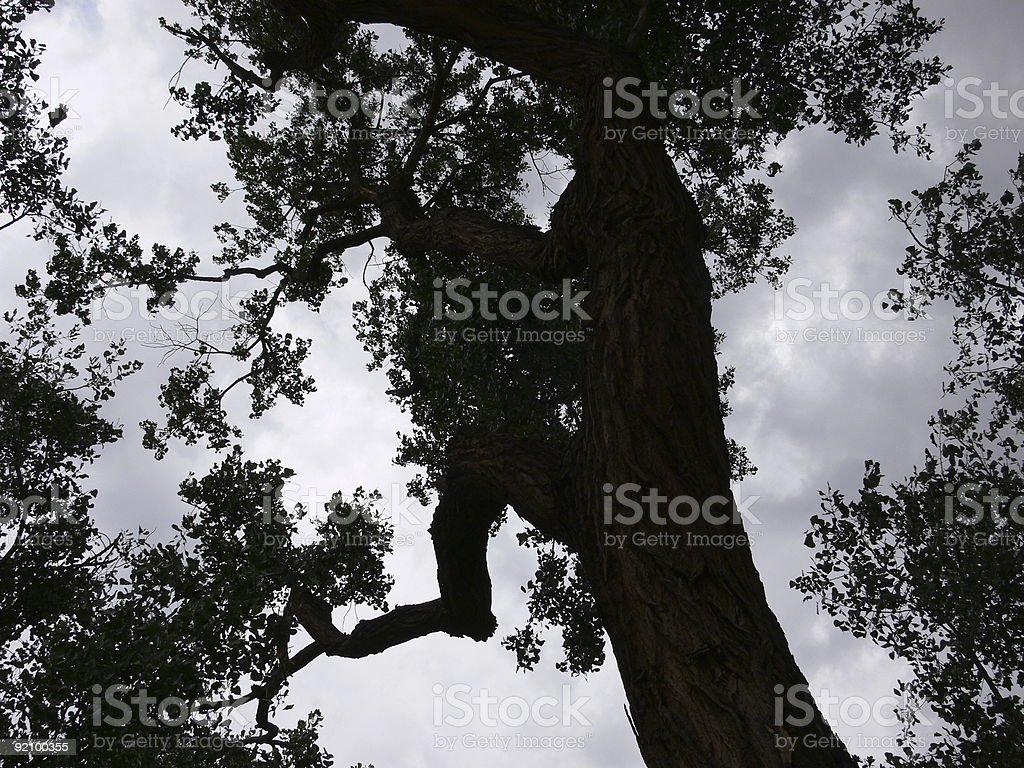Large tree silhouette stock photo