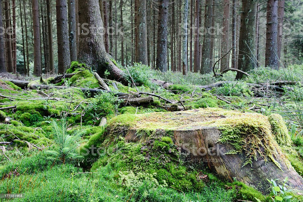 Large tree stump in summer forest stock photo