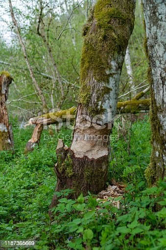 Close-up of large tree trunk bark chewed gnawed by beavers in the forest in Germany during summer time.