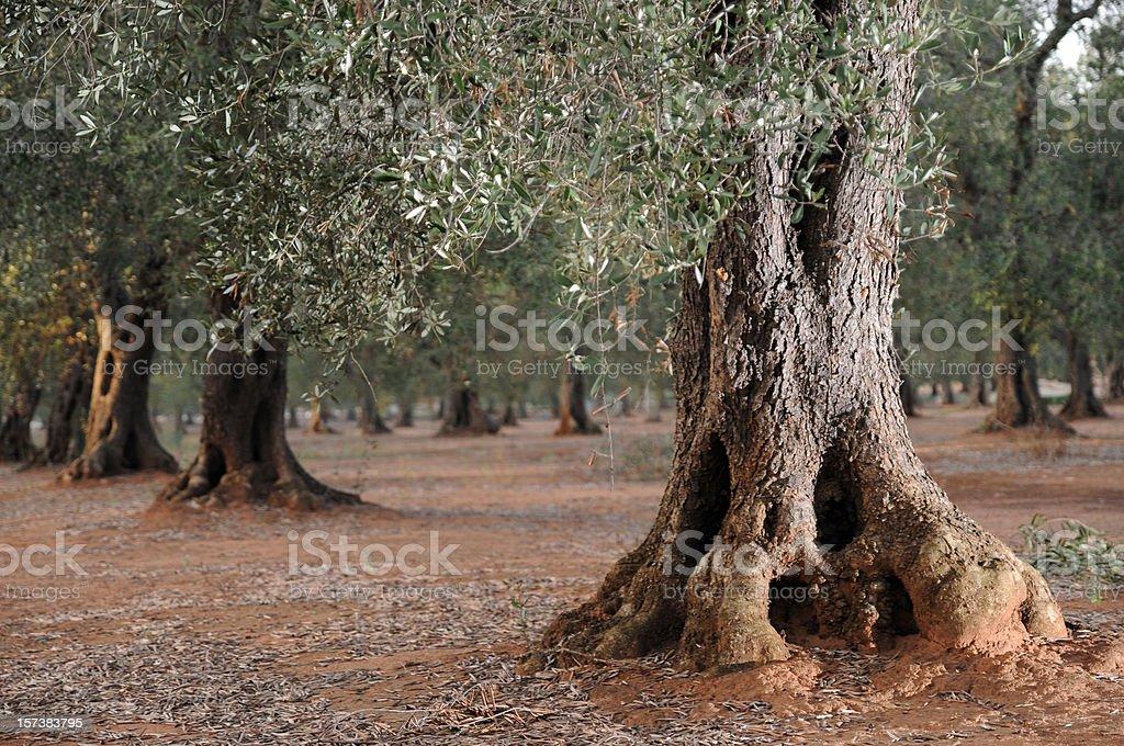 Olive Tronc d'arbre - Photo