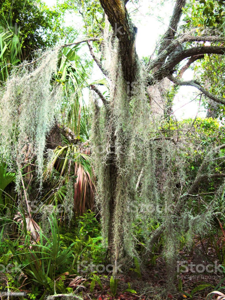 Large tree with heavy moss hanging from the branches in a public park