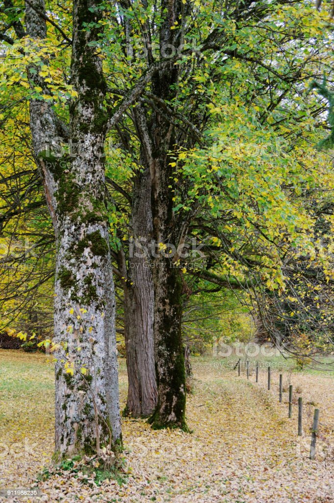 Große Bäume mit herbstlichem Blattwerk stock photo