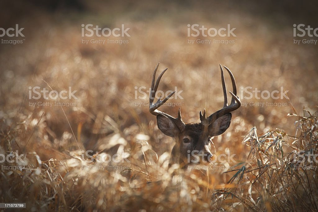 Large trophy size whitetail buck in prairie. stock photo