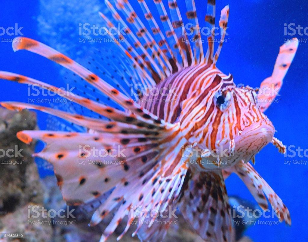 large tropical fish volitans lionfish close up colourful stock photo