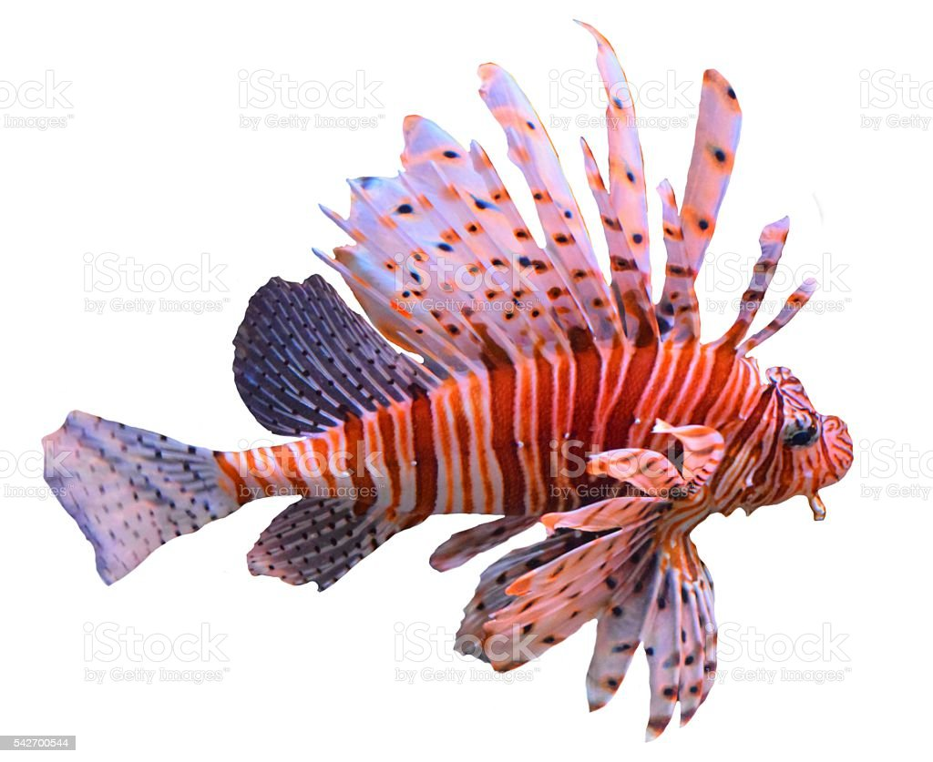 large tropical fish volitans lionfish isolated white background stock photo