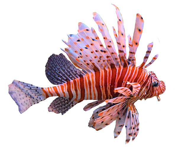 large tropical fish volitans lionfish isolated white background - lionfish stock photos and pictures