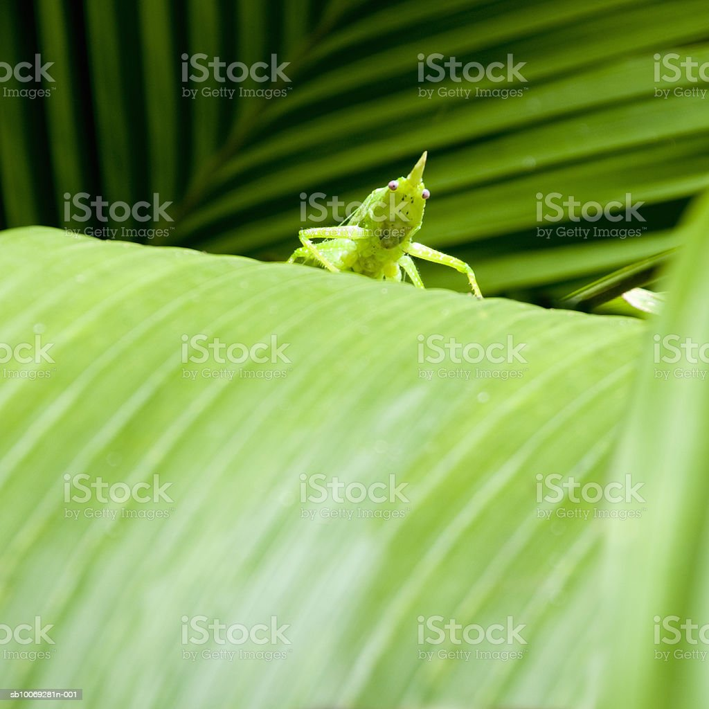 Large tropical grasshopper on leaf royalty-free stock photo