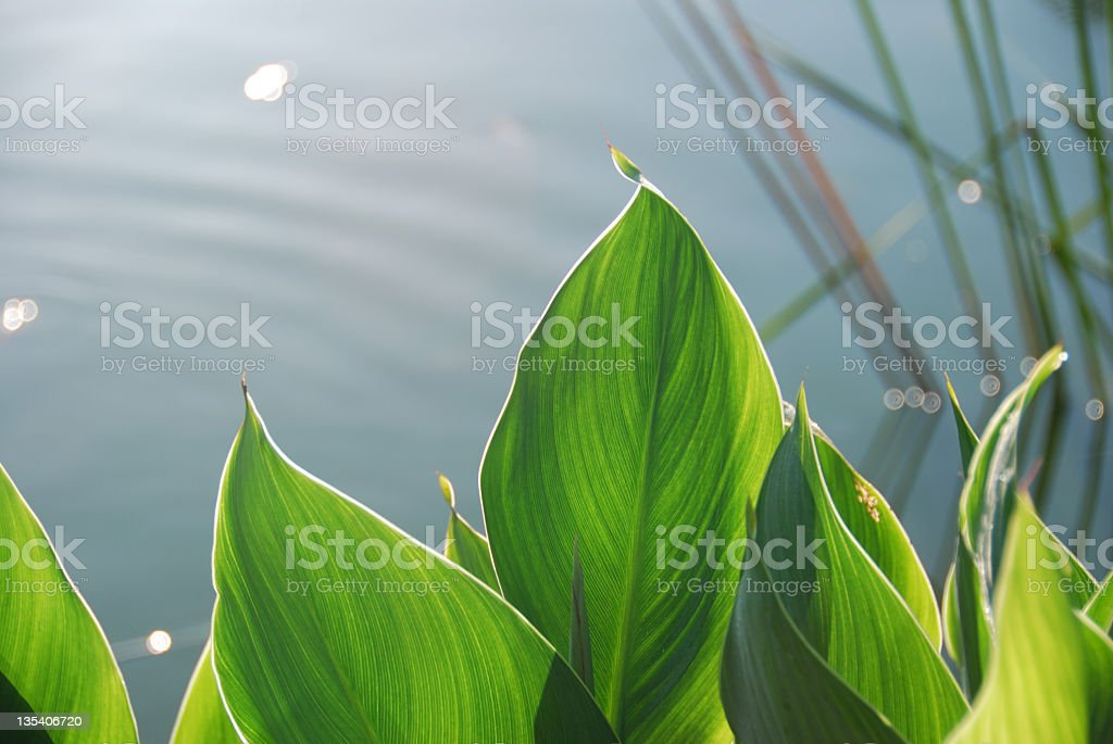 Large tropical leaves with a pond in the background stock photo