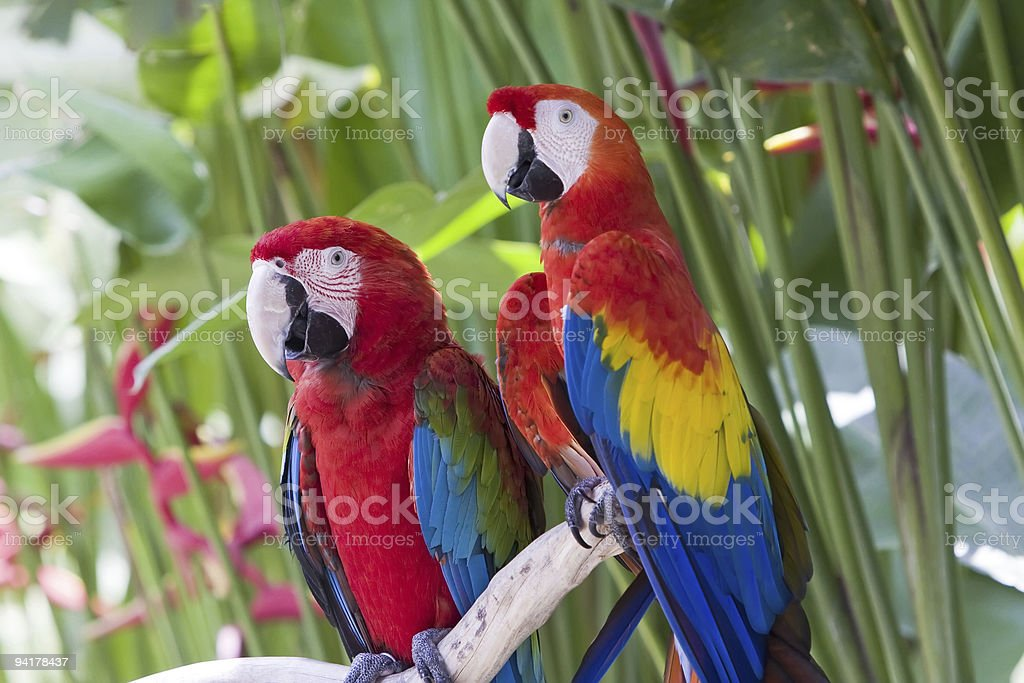 large tropical parrots royalty-free stock photo