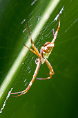 close up of a large spider on its web with a bright green leaf in the background, photo taken in Costa Rica